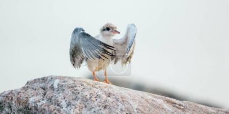 Baby bird of Common Tern