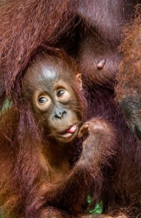 Orangutan cub at mother on breast