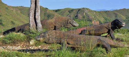 Komodo dragons in natural habitat