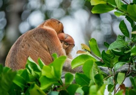 Photo pour Proboscis singe bébé suce le lait maternel de sa mère. Singe proboscis femelle (Nasalis larvatus) avec un petit sur l'arbre dans un habitat naturel. Singe à long nez. Forêt tropicale de l'île de Bornéo. Indonésie - image libre de droit