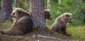 Cubs of Brown bear