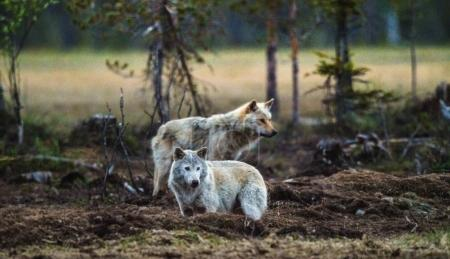 Gray wolfs at twilight evening