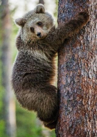 Cub of Brown bear climb on tree