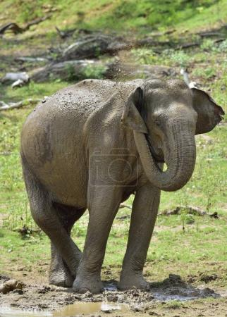 Male of Sri Lankan elephant