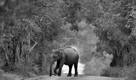 Photo for Sri lankan elephant on the road. Sri Lankan elephant (Elephas maximus maximus). - Royalty Free Image