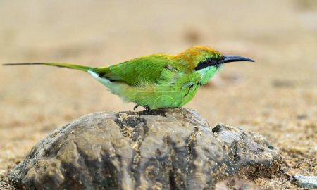Bee-eater on the stone