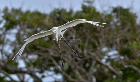 Great Egret in flight. Ardea alba, also known as the common egret, large egret or (in the Old World) great white egret or great white heron.