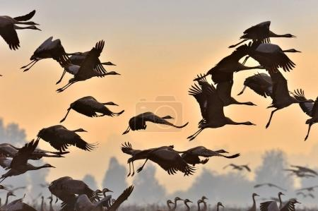 Birds in flight. A silhouettes of cranes in flight. Flock of cranes flies at sunrise. Foggy morning, Sunrise sky  background. Common Crane, Grus grus or Grus Communis, big birds in the natural habitat.