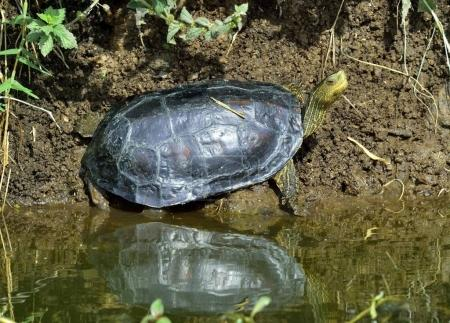 The Caspian turtle or striped-neck terrapin (Mauremys caspica) in natural habitat