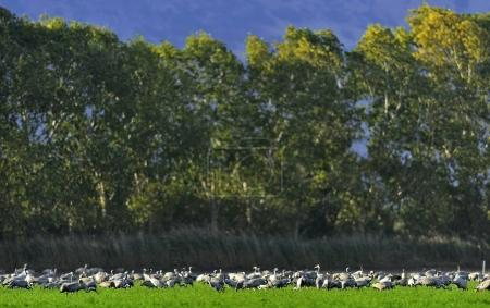 Cranes in a field foraging. Common Crane, Grus grus, big birds in the natural habitat. Feeding of the cranes at sunrise in the national Park Agamon of Hula Valley in Israel.