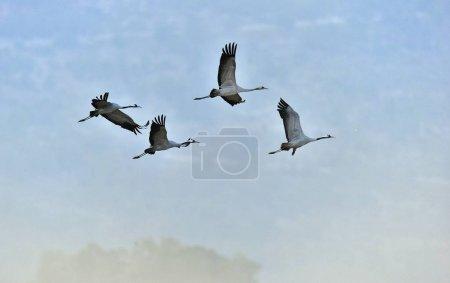 Birds in flight. A silhouettes of cranes in flight. Common Crane, Grus grus or Grus Communis, big birds in the natural habitat.