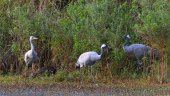 Family of Common cranes (Grus grus) standing on the shore of pond. Green cane background.