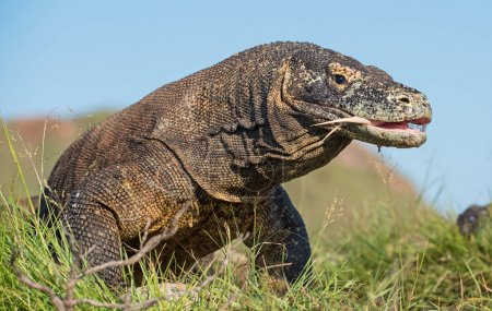 The Komodo dragon (Varanus komodoensis) with an open mouth. It is the biggest living lizard in the world, Indonesia. Rinca island