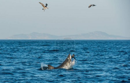 Great White Shark (Carcharodon carcharias) attacks a seal.  Hunting of a Great White Shark (Carcharodon carcharias), breaching in an attack. South Africa