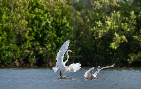 The fighting great egrets ( Ardea alba ). Natural green background. Cuba