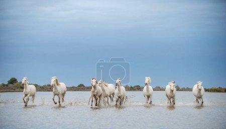 White Camargue Horses galloping through water. Parc Regional de Camargue - Provence, France