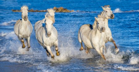 White Camargue horses galloping on blue water of the sea. France.