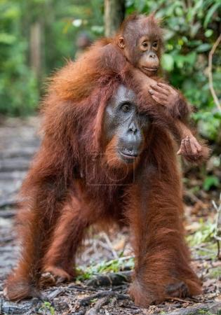 On a mum`s back. Cub of orangutan on mother's back in green rainforest. Natural habitat. Bornean orangutan (Pongo pygmaeus wurmbii) in the wild nature. Tropical Rainforest of Borneo Island. Indonesia
