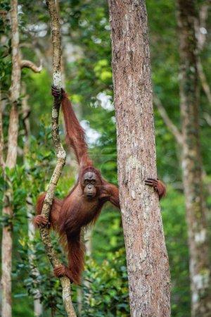 Young male of Bornean Orangutan on the tree in a natural habitat. Bornean orangutan (Pongo pygmaeus wurmbii) in the wild nature. Rainforest of Island Borneo. Indonesia.