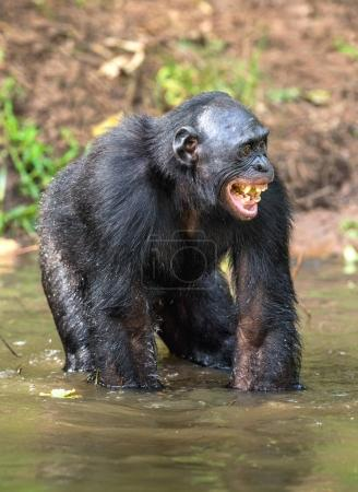 Smiling Bonobo standing in water of the pond. Bonobo ( Pan paniscus ). Democratic Republic of Congo. Africa