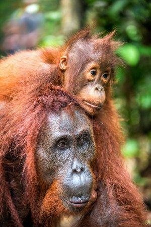 Cub of orangutan on mother`s back. Green rainforest. Natural habitat. Bornean orangutan (Pongo pygmaeus wurmbii) in the wild nature. Tropical Rainforest of Borneo Island. Indonesia