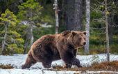 Wild Brown Bear in the spring forest. European Brown Bear ( Ursus Arctos )