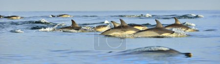 Dolphins, swimming in the ocean. The Long-beaked common dolphin (scientific name: Delphinus capensis) in atlantic ocean