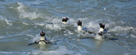 African penguins walk out of the ocean on the sandy beach. African penguins also known as the jackass penguins and black-footed penguins. Scientific name: Spheniscus demersus.