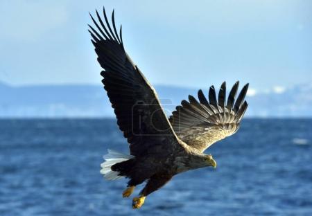 Steller's sea eagle spread his wings. Adult Steller's sea eagle (Haliaeetus pelagicus).