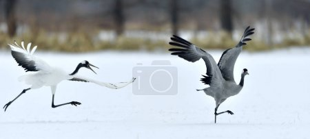 The gray crane runs away from the Japanese crane. Snow white background. Winter season