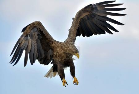 Adult White-tailed eagle in flight. Blue sky background. Scientific name: Haliaeetus albicilla, also known as the ern, erne, gray eagle, Eurasian sea eagle and white-tailed sea-eagle.