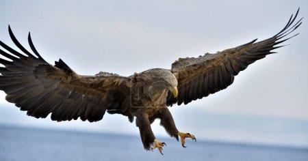 Photo pour Aigle à queue blanche adulte en vol. Fond bleu ciel. Nom scientifique : Haliaeetus albicilla, également connu sous le nom d'erne, erne, aigle gris, aigle de mer eurasien et aigle de mer à queue blanche . - image libre de droit