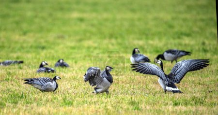 The barnacle goose (Branta leucopsis). flock of ba...