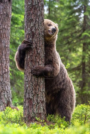 Photo pour L'ours brun se tient sur ses pattes postérieures près d'un arbre dans une forêt d'été. Nom scientifique : Ursus Arctos (ours brun). Fond naturel vert. Habitat naturel . - image libre de droit