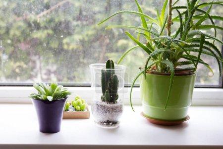 Photo pour Plantes exotiques succulentes sur la fenêtre, gros plan - image libre de droit