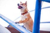 """Постер, картина, фотообои """"Любопытная собака ищет что-л на голубой лестницы"""""""