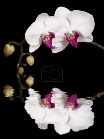 white orchids isolated