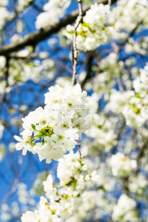 blossom of cherry tree branches
