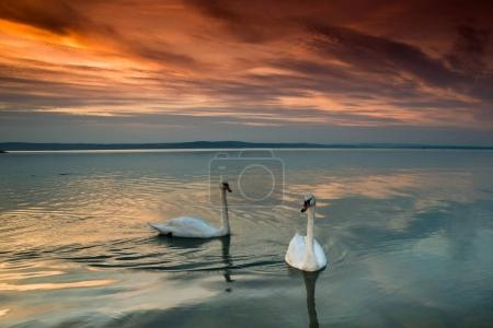 beautiful swans in lake Balaton