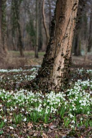 beautiful white snowdrops