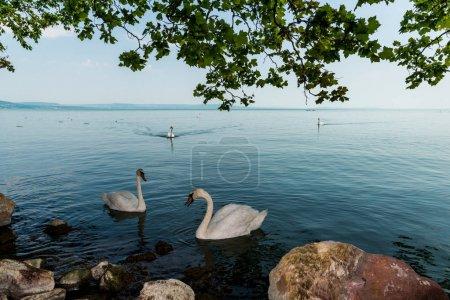 beautiful swans in lake Balaton