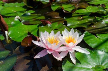 Photo pour Photo de fleur de lis de l'eau sur le lac - image libre de droit