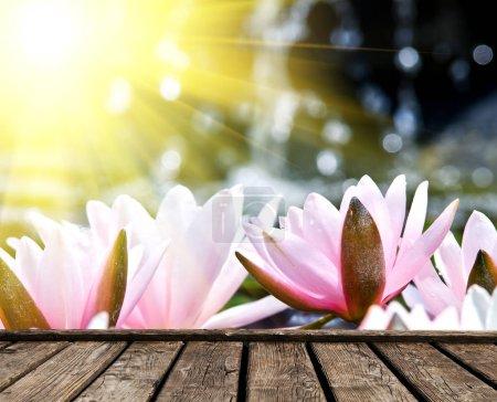 Photo pour Fleur de lis de l'eau sur le lac, plate-forme de planches de bois sur la pointe - image libre de droit