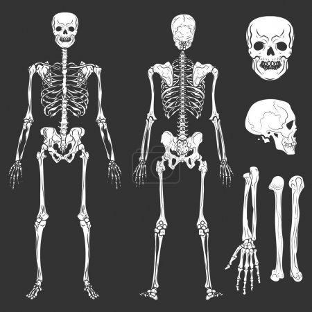 Human body skeleton bones and joints vector isolated flat icons
