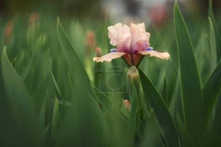Photo pour Une rare fleur d'iris (Iris Gigglefit) au printemps . - image libre de droit