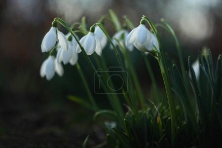 Photo pour Beaucoup de belles fleurs de chute de neige . - image libre de droit