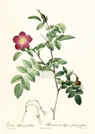 Photo pour Ancienne illustration de Rose des Alpes (Rosa pendulina). Créé par P. R. Redoute, publié sur Les Roses, Imp. Firmin Didot, Paris, 1817-24 - image libre de droit