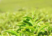 Closeup view of amazing upper bright green tea leaves