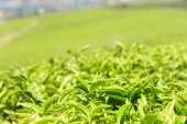 Closeup view of upper bright green tea leaves