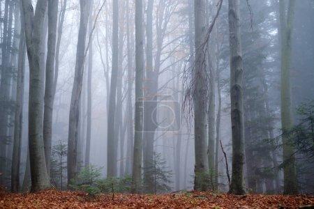 Photo pour Mystérieuse forêt de hêtres sombres dans le brouillard. Matin d'automne dans les bois brumeux. Ambiance magique brumeuse. Photographie de paysage - image libre de droit
